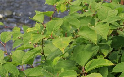 Japanese Knotweed – A Gordian Knot?